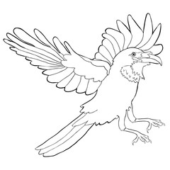 coloring raven bird with wings  flies.  illustration