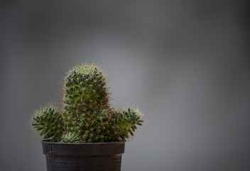 Cactus in a pot with a gray background