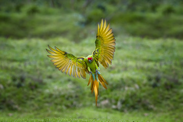 Endangered parrot, Great green macaw, Ara ambiguus, also known as Buffon's macaw. Green and red tropical forest parrot, landing with outstretched wings against blurred background. Panama.