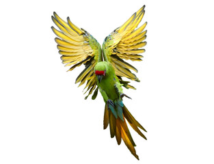 Isolated on white, endangered parrot, Great green macaw, Ara ambiguus, also known as Buffon's macaw flying with outstretched wings from direct view. Wild animal. Green-yellow parrot in angel pose.