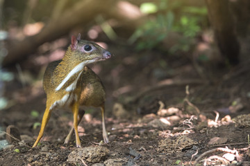 Mouse-deer (Chevrotain) in nature