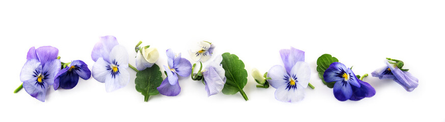 Poster Pansies purple blue pansy flowers and leaves in a row, spring banner background in panoramic format isolated with small shadows on a white background