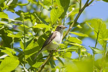 Booted warbler sitting on bush. Cute little rare north songbird. Bird in wildlife.