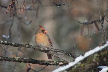 A female cardinal poses for a portrait on a tree branch on a winter day in Missouri. A bokeh bakcground highlights the beauty of the bird.