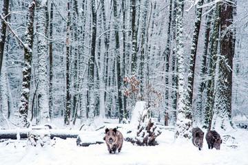 Wild boar in the winter Black Forest, Germany.