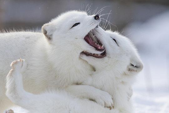 Arctic fox fighting in winter