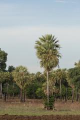 Carnauba palm in Campo Maior, Pi, Brazil