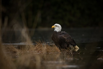 Haliaeetus leucocephalus. Bald Eagle is a big bird of prey living in North America. It is a national bird and a symbol of the state of the United States. Located in most of Canada and Alaska.
