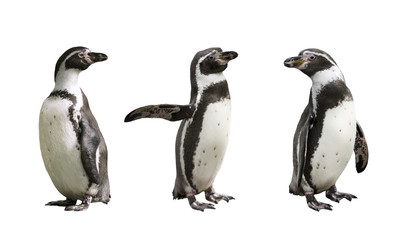 Three Humboldt penguins on white  background isolated