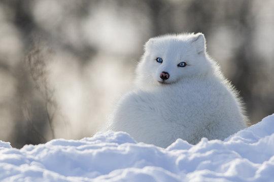 Blue eyes arctic fox