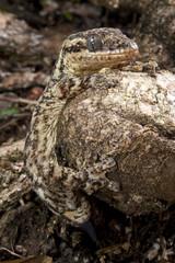 Rübenschwanzgecko (Thecadactylus rapicauda) - Turnip-tailed gecko