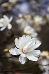 Beautiful spring background with blooming magnolia tree flowers. White magnolia flower in sun light close up in shallow depth of field. Vertical composition.