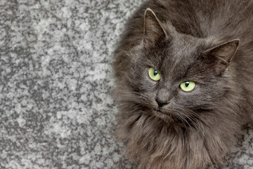 gray cat breed with green eyes on a blurry background looking gently upwards, free to the left