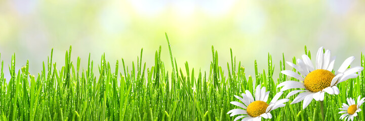 Fototapete - Wild daisies in the fresh spring green grass with drops of dew, border design panoramic banner