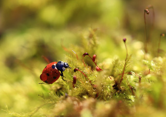 A heavy burden.Little ladybug crawling on green moss with a large drop of dew on the back.