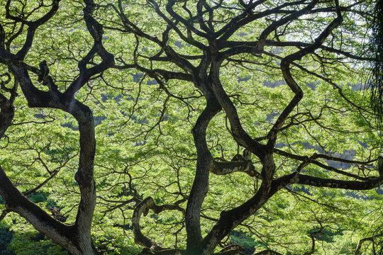 Backlit green leaves of a Monkey Pod Tree