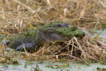 Alligator in Camouflage