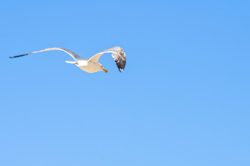 Daylight closeup view to seagull flying in the sky
