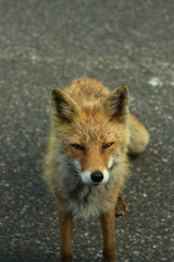 Curious red fox wandering along the road through Shiretoko National Park, Hokkaido, Japan