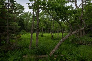Dense green forest grounds on the Shiretoko Peninsula at Shiretoko 5-lakes, Shiretoko National Park, Hokkaido, Japan