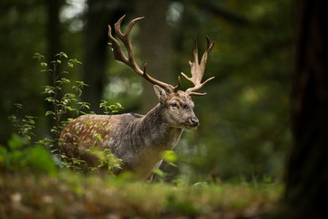 Dama dama. Photo was taken in the Czech Republic. Free nature. Beautiful animal image. Forest. Autumn colors.