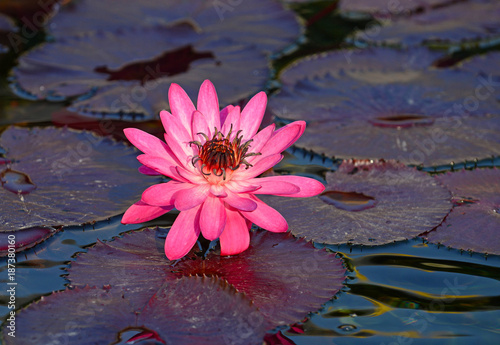 Lotus flower in lotus pond is often symbolic of purity in many lotus flower in lotus pond is often symbolic of purity in many religions buddhist temple mightylinksfo