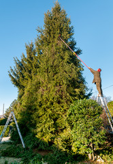 Gardener cutting the branches of a tall pine tree with cutter trimming in the garden.