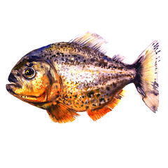 Tropical red piranha, predatory fish, side view, pirahna, isolated, watercolor illustration on white