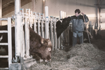 Farmer Caressing Cow In Stable