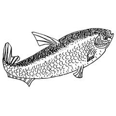 Hand drawn ink monochrome sketch of fish stock vector illustration on white