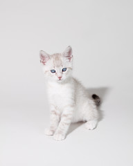 White cat on white background