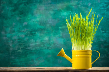 Watering can with grass growing, spring gardening concept