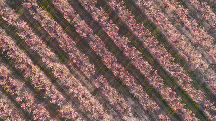 Aerial view of pink blossom growing in field during spring