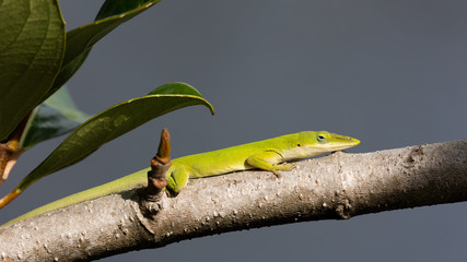 Green anole lizard, dactyloidae, sitting on a branch, Florida, USA
