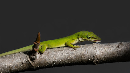 Green anole lizard, dactyloidae, watching an insect, Florida, USA