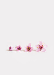 Cherry blossoms on a plain white background