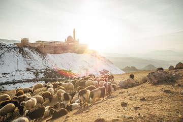 sheeps grazing on a meadow in front of an oriental palace at sunset, turkey