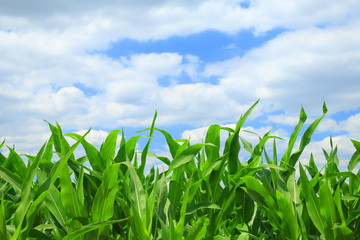 Corn Field and sky