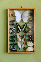 Butterflies in a case against a green wall
