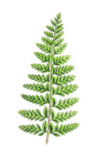 Illustration of a fern