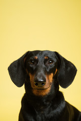 Cute Dachshund Puppy Portrait