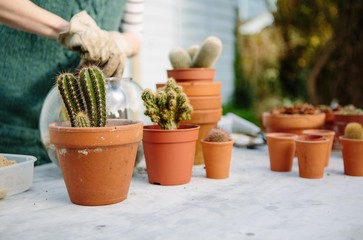 Woman repotting cactus plants