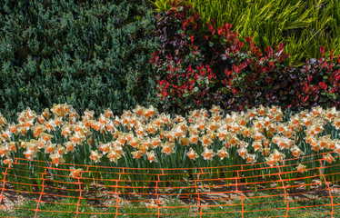 Rubber fence in the tulip garden