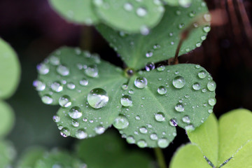Water drops on Clover