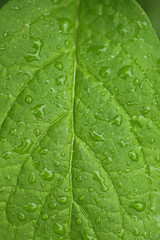 green leaf background.  green leaf in drops of water.