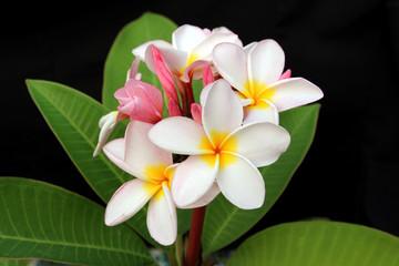 beautiful frangipani flower