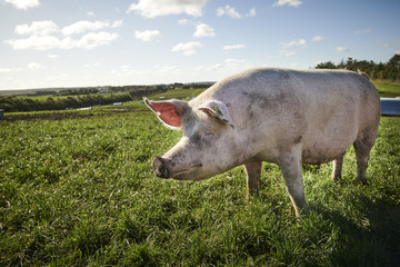 ecological pigs and piglets at a grass field in the summer