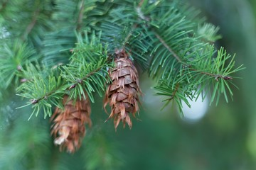 Cone of a Douglas fir