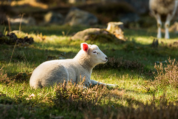 Young spring lamb resting on a sunny spot among heather.
