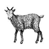 Goat Sketch Style Hand Drawn Illustration Of Beautiful Black And White Animal Line Art